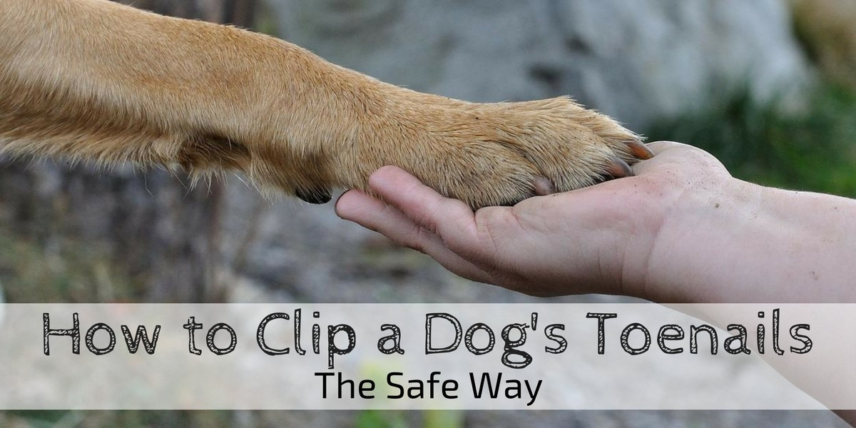 how to clip a dog's toenails