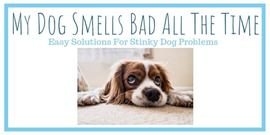 My Dog Smells Bad all the Time – Easy Solutions for Stinky Dog Problems